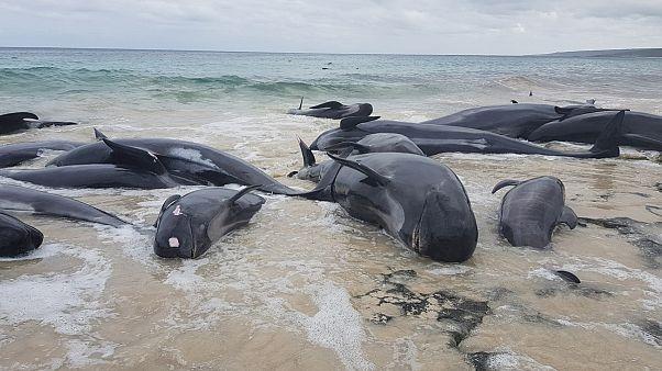 حدود ۱۵۰ نهنگ در ساحل استرالیا گرفتار شدند