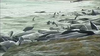 Tömeges delfinpusztulás Ausztráliában