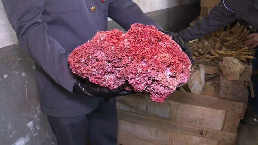 Italia, 8 tonnellate di coralli protetti sequestrati a Genova