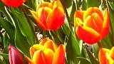 Bajban a holland virágkereskedők a brexit miatt