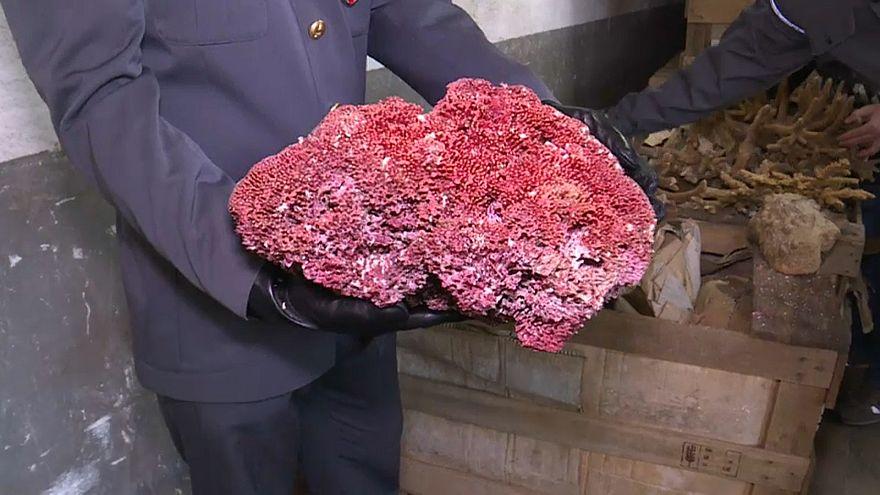 8 Tonnen illegaler Korallen in Genua
