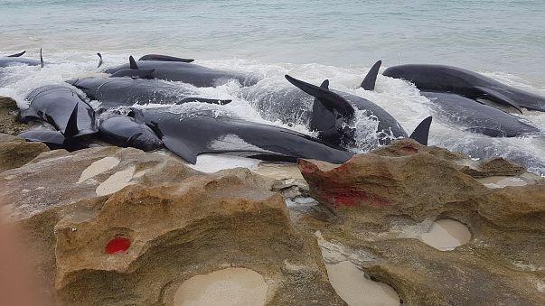مشاهد صادمة لنفوق عشرات الحيتان بعد جنوحها إلى شاطئ في استراليا