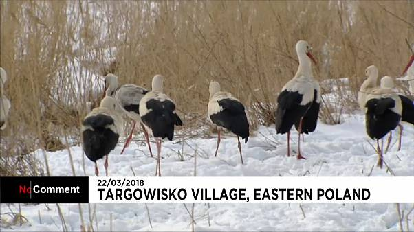 شاهد: الثلوج تقسو على طيور اللقلق بشرق أوروبا