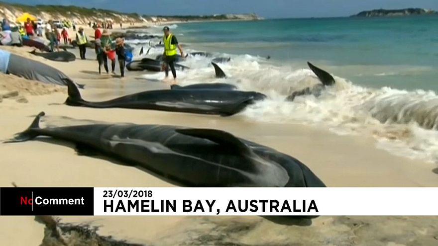 Échouage massif de dauphins-pilotes  sur les côtes australiennes