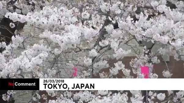 Japón se puebla de cerezos en flor