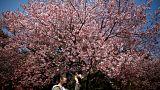 Virágzanak a cseresznyefák Japánban
