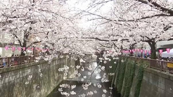 Crowds admire cherry blossoms in full bloom in Tokyo