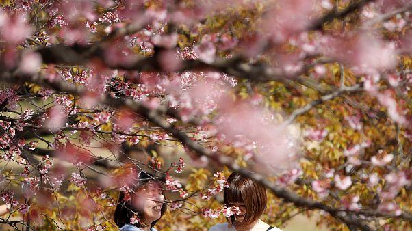Kirschblütenpracht in Tokio