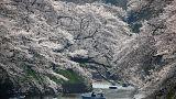 Ιαπωνία: Οι ανθισμένες κερασιές