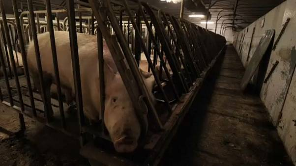 Allevamenti di maiali: guerra tra LAV e Consorzio del Prosciutto di Parma