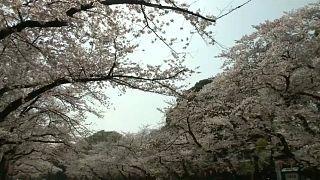 Japan cherry plossom