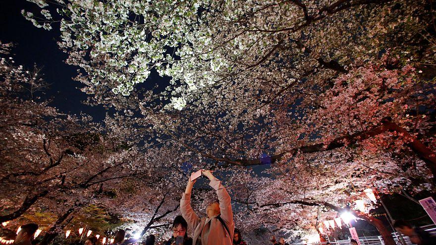 Ханами – праздник цветущих деревьев