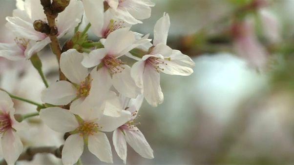 In Japan ist Kirschblüten-Saison