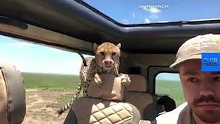 Watch: Wild cheetahs enter tourist's car on safari