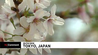 Japon : les cerisiers en fleurs accueillent le printemps