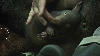 """Eine kleine Sensation: Wombat-Baby """"Apari"""" ist da"""