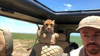 شاهد: فهد بري يدخل سيارة سياحية في رحلة سفاري