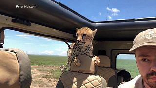 یوزپلنگ کنجکاو با ورود به خودروی گردشگران آنها را ترساند