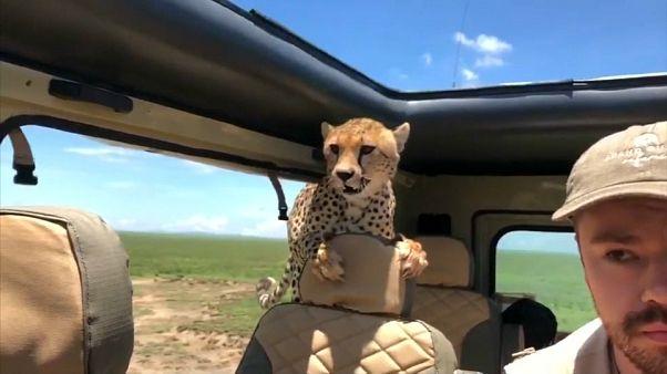 Überraschung! Gepard steigt während Safari in den Jeep ein