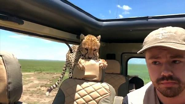 Curious cheetah climbs into safari vehicle