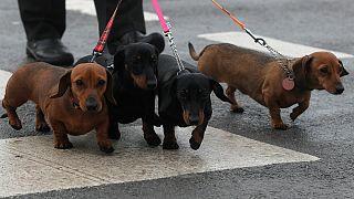 Os dachshund, conhecidos como cães-salsicha, já têm um local de culto