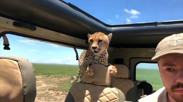 Un guépard dans la voiture...