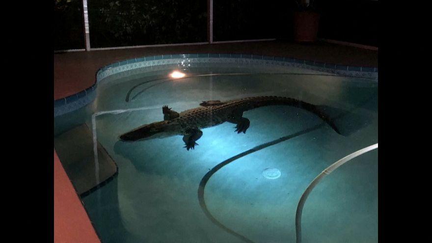 فيديو: تمساح استوائي يقتحم مسبحاً منزلياً بفلوريدا