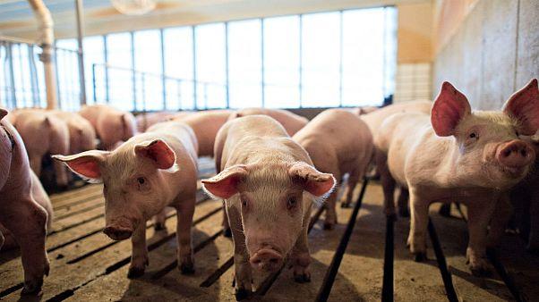 خوکهای آمریکایی برای صادرات به چین