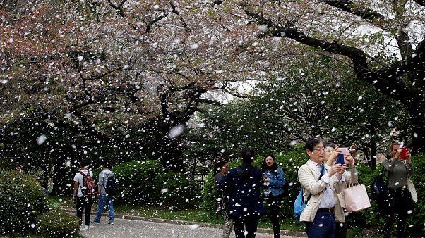 As cerejeiras de Tóquio estão a começar a perder as flores