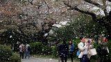 Tokyo, i ciliegi in fiore stregano la coppia imperiale