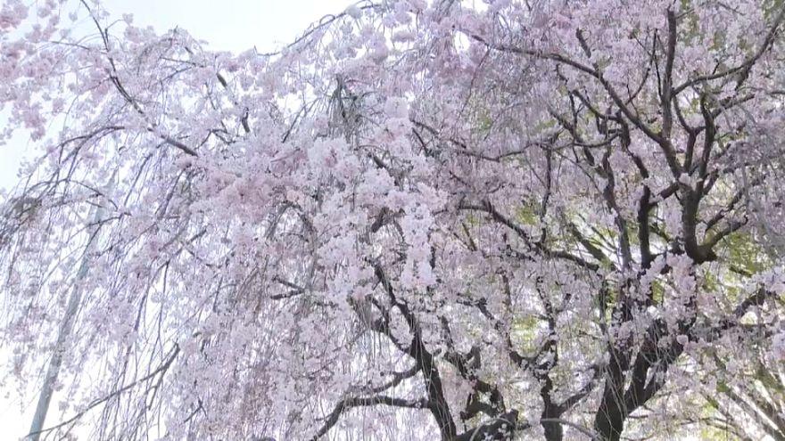 Japon İmparatoru'nun kiraz çiçeği ağacı keyfi