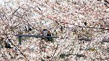 A cseresznyevirágzás előcsalogatta a japán császári párt