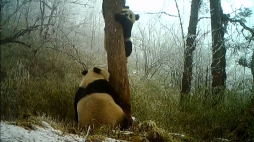 Wild giant pandas found in China