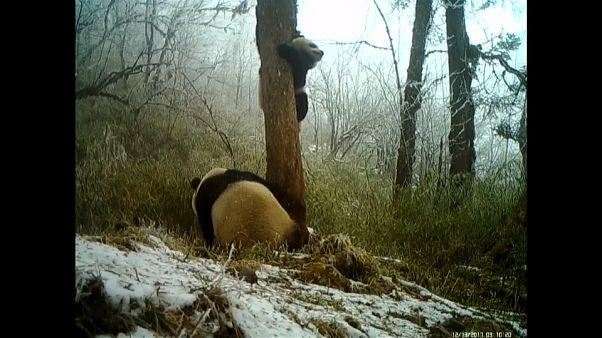 Panda giganti in riproduzione in una riserva naturale in Cina