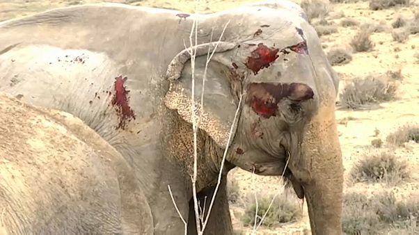 فيل جريح في إسبانيا