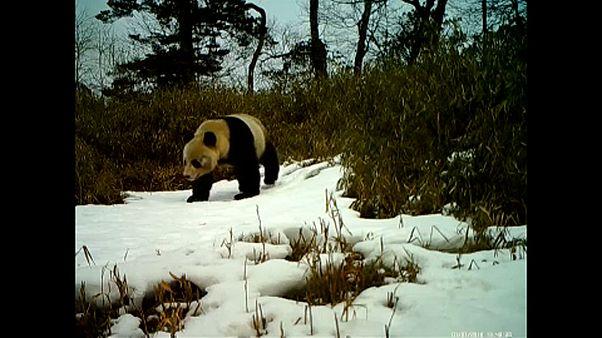 Videón a vadon élő pandakölyök