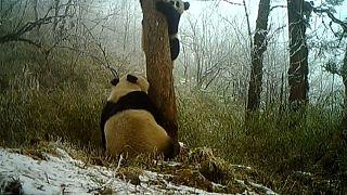 China: Wilde Pandas gesichtet