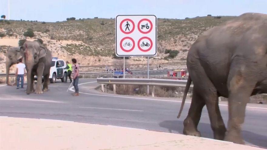 Elefantes à solta numa autoestrada espanhola