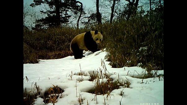 Çin'in sevimli pandaları