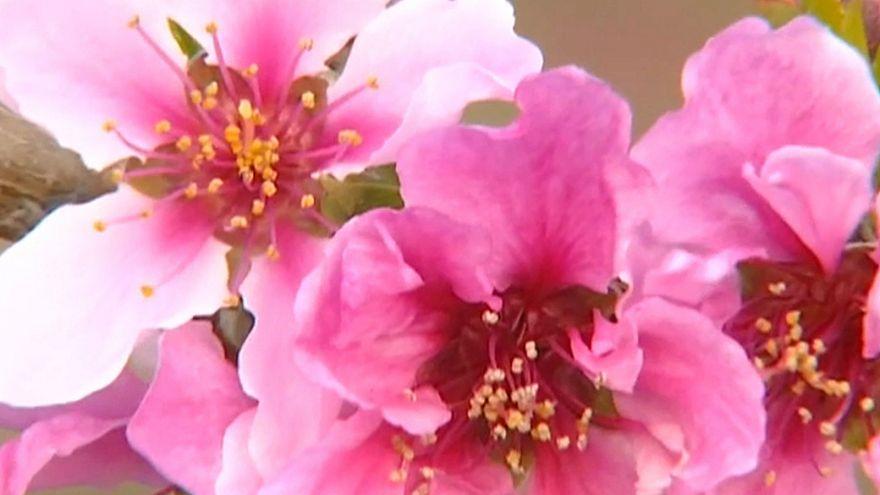 إزهار الأزلية في الصين