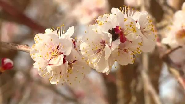 Apricot flowers in bloom in Shexian County, Anhui Province, east China