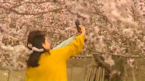 Цветущая весна в Китае