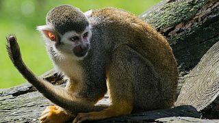 میمون نوزاد ۱۶ روزه را ربود و کشت
