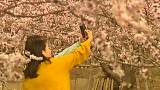 شکوفههای بهاری در چین