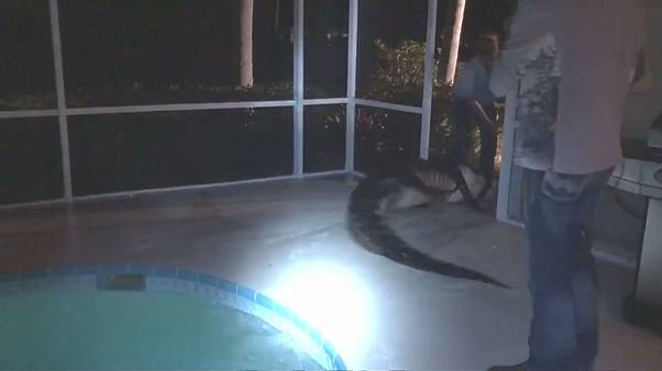 Large alligator is dragged out of swimming pool in Florida