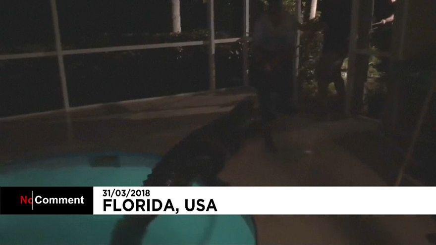 Floride : un alligator retrouvé dans une piscine privée