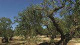 """La bactérie """"tueuse d'oliviers"""" arrive en Corse"""