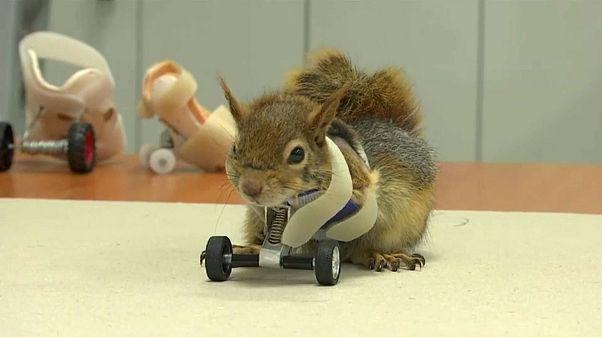 سنجاب مع عجلات