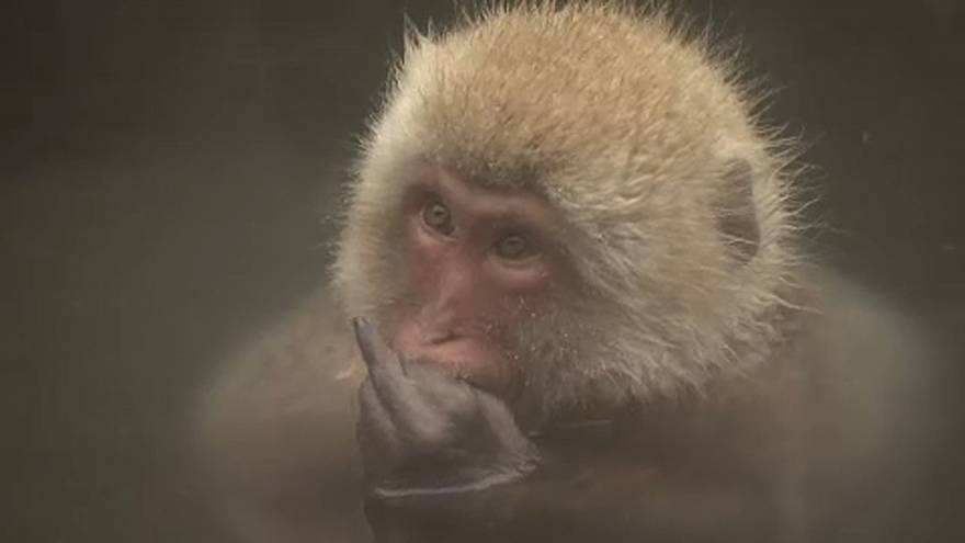 A majmok is szeretnek gőzbe járni