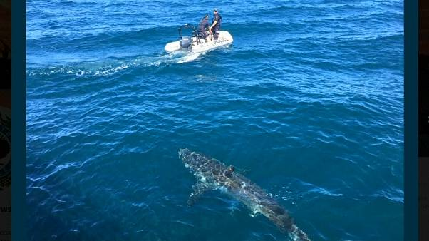 شاهد: خفر السواحل الاسترالي يواجه سمكة قرش عملاقة